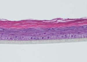 Reconstructed human epidermis (HE staining)