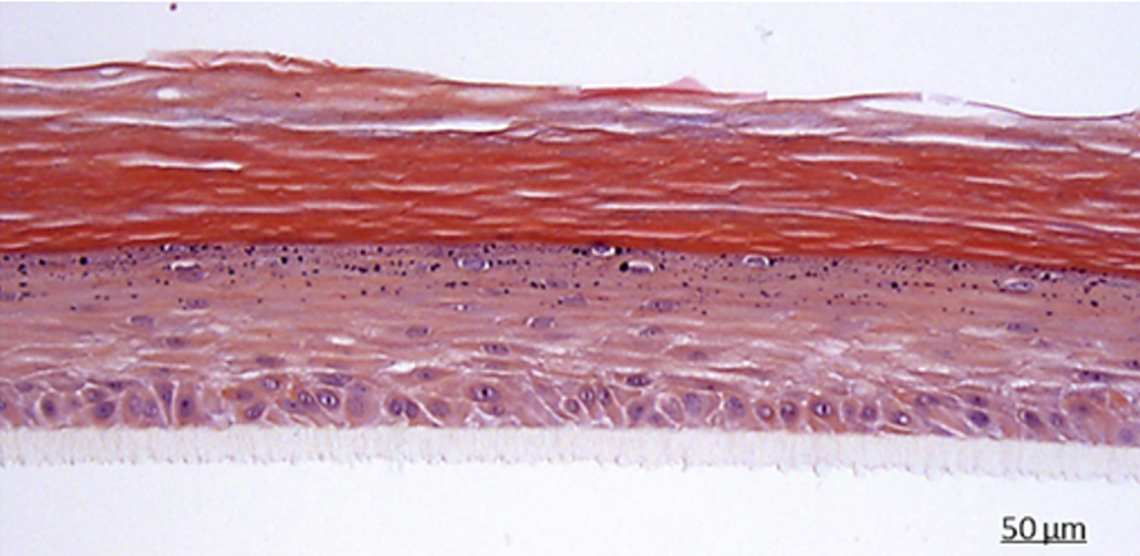 Canine model (Reconstructed Canine Epidermis)