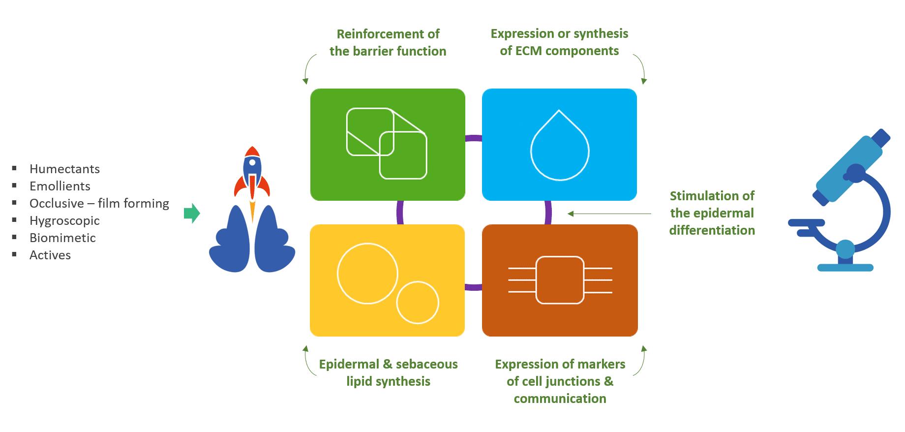 Evaluation des propriétés structurelles de l'épiderme - fonction barrière