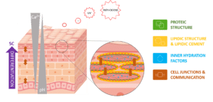 skin proteic structure, physico biochemical barrier