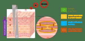 structure et physiologie de la peau, l'épiderme - une barrière physico-(bio)chimique